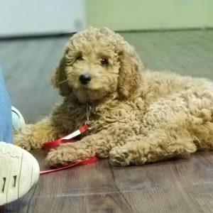 goldendoodle dog training puppy training elite puppies puppy raising