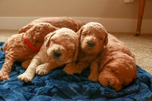 dog, puppy, goldendoodle, goldendoodle puppeis for sale, elite puppy, red, trained dog, trained puppy, potty training