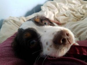 Decker, puppy, dog training, socialization, puppy training, trained puppy for sale, puppies for sale, breeder, obedience, socialization, dog trainer near me