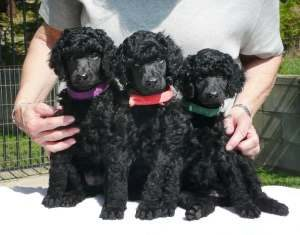 trained puppy for sale, beautiful black, autism, service, therapy, poodle puppy for sale, standard poodle, royal standard poodle