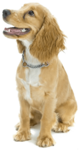puppy training dog training, dog trainer, trained puppies, obedience training, puppy training, board and train, santaquin, utah, payson, spanish fork, goshen, eureka, salem, elk ridge