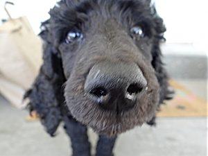 elite puppy, trained puppy, obedience training, happy tails, breeder
