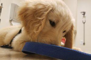 puppy, trained puppy, golden retriever