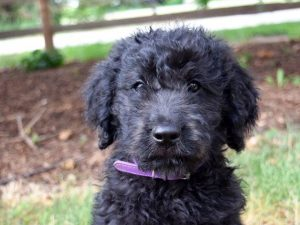 puppy training, obedience training, board and train, goldendoodle, golden doodle, teddy bear doodle, labradoodle, trained puppy, puppies for sale, breeder, trained puppies for sale, utah, santaquin, price, cost, adoption, payson, mona, juab, county, utah, near me