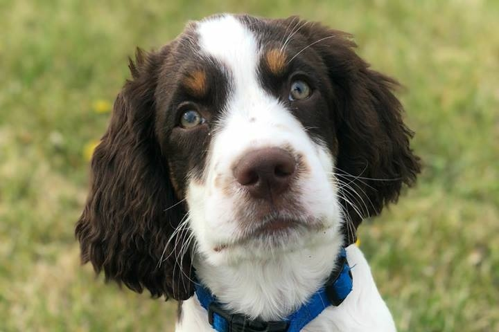 Decker - English Springer Spaniel