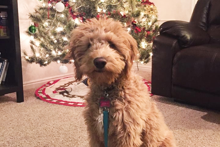 Lillipup - Goldendoodle - THERAPY DOG