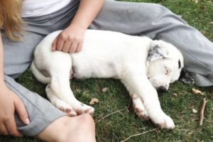 puppy, trained puppy, puppy training, dog training, obedience, board and train, puppies for sale, breeder, puppy for sale, adoption, positive, adoption, adopt