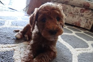 golden doodle, goldendoodle, labradoodle, trained puppy, puppies for sale, puppy for sale, obedience training, puppy training, dog trainer, dog training, certified dog training, obedience, group classes