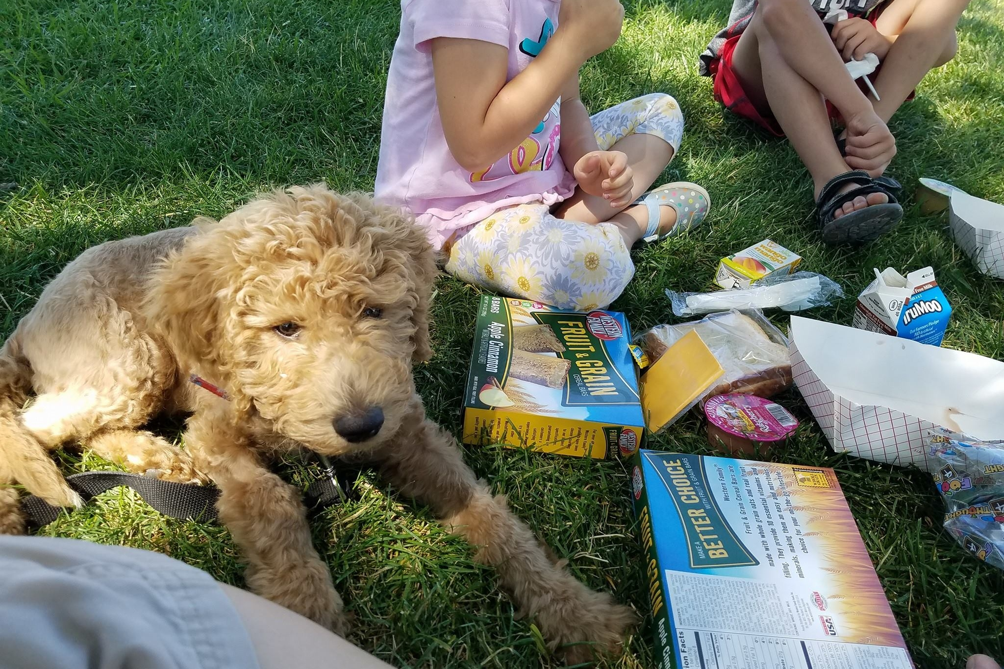 Willow - Goldendoodle - DEMO DOG