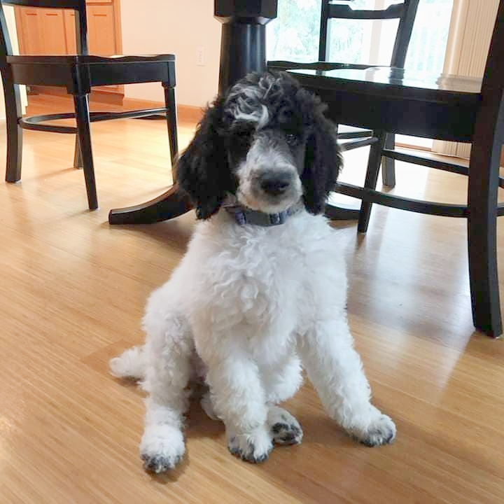crown standard poodle puppy for sale | Happy Tails Dog Training, LLC