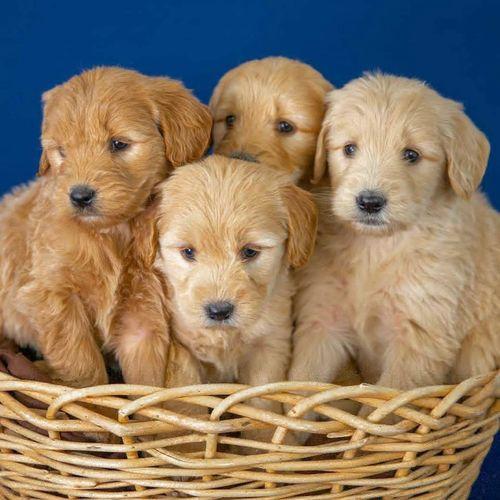 dog training, puppy training, good breeder, bad breeder, backyard breeder, puppy breeder, good puppy, good dog